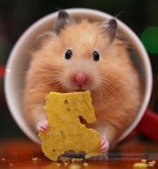 This I Love (disgruntledbaker1) Tags: macro nikon bokeh hamster mug f3 mondays d60 60mmf28 thisilove disgruntledbaker1