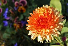DSC_9981-1 (youngryand) Tags: orange flower macro beautiful closeup wisconsin contrast petals spring stem nikon midwest colorful bokeh grow may depthoffield petal growth madison stunning growing pollen dslr upclose botanicalgardens olbrich olbrichbotanicalgardens d60 olbrichgardens danecounty nikondslr nikond60
