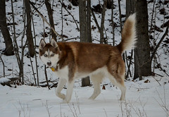 Sonya on the hunt. (Brandon Gabler) Tags: winter rescue dog snow dogs puppy outdoors woods nikon hunting wilderness huskie
