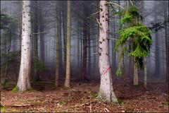 La marque rouge (Clydomatic) Tags: rouge arbre forêt brume