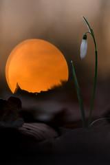 Im Sonnenuntergang (MichaSauer) Tags: sunset zeiss sonnenuntergang makro snowdrop galanthus schneeglckchen makroplanart2100 makroplanar2100