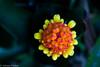af1609_1151 (Adriana Füchter ... thank you for 5 Million Views) Tags: σαουδικήαραβία саудовскаяаравия العربيةالسعودية المملكةالعربيةالسعودية サウジアラビア 沙烏地阿拉伯 沙特阿拉伯 사우디아라비아 adrianafüchter aechmea aechmeapineliana america american australia australian background black blackbackground bloom bromeliad bromeliadflower bromeliads climate common dark darkbackground family flower flowerofbromeliad garden gardenplants gardening genus green greenhouse hot hothouse house indoor neutral outdoors plain plant popular qld queensland red south species tropical tropicalplant tropicalplants variety yellow