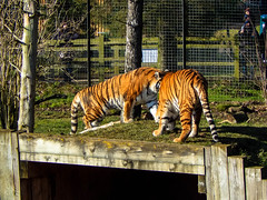 Whipsnade Zoo (ThemeParkMedia) Tags: uk family london tourism animals fun zoo panda united lion kingdom tigers lama elephants excitement whipsnade zsl