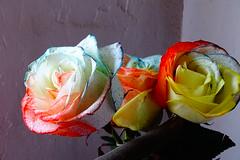 Rosa Arcoiris (Mpc 1980) Tags: flowers roses flores color primavera rose arcoiris rainbow rosa colores rosas rainbowroses rosaarcoiris