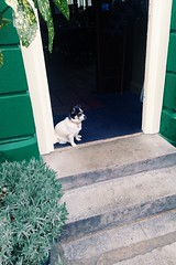 Fizzy, pub dog at the New Inn (abbyef) Tags: dog london pub stjohnswood fizzy pubdog newinn