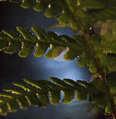 View from under (BigWhitePelican) Tags: plant fern macro nature leaves finland bokeh may 2016 canoneos7d adobelightroom6