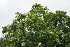 Cloudforest Magnolia (Magnolia dealbata) - The Gardens at Lake Merritt - Oakland - California - 09 April 2016 (goatlockerguns) Tags: sanfrancisco california park city trees urban usa lake west nature oakland coast natural unitedstatesofamerica coastal bayarea magnolia eastbay cloudforest merritt thegardens dealbata