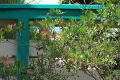 Long Key Locustberry (Byrsonima lucida) (Florida Birding Trail) Tags: threatened wildlfower