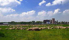 the contrast between industrial and nature (FotoTrenz NRW) Tags: blue light summer sky green nature clouds contrast germany landscape cityscape outdoor sommer wiese himmel wolken angie nrw duisburg rhein sheeps industrie ruhr ruhrgebiet outskirts schafe ruhrpott herde routederindustriekultur trenz