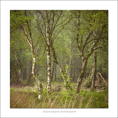 Brimham (shaun.argent) Tags: morning trees light mist tree texture nature leaves woodland landscapes spring woods seasons birch shaunargent