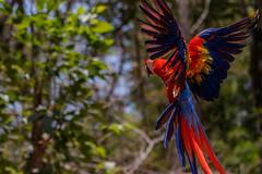 Honduras-035 (s4rgon) Tags: ara birds copan honduras mayaruins pagagei parrot ruine vogel copánruinas copán hn