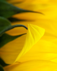 ODC - Less Than 3 Colors (lclower19) Tags: abstract flower macro green yellow closeup flora petal sunflower odc atsh
