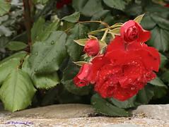 Moruzzo-Giardini aperti (patrizia_peri) Tags: rosa fiori rugiada giardino giardiniaperti1352012