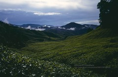Cameron Highlands, tea plantations (blauepics) Tags: clouds garden landscape highlands tea wolken hills cameron malaysia plantation landschaft tee garten malay hgel hochland plantagen