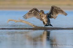 Equilibrios y reflejos (Dani (Atrus)) Tags: espaa naturaleza birds fauna spain aves phalacrocoraxcarbo cormorngrande greatcormoran jdanielfernndez elrincndelosprotegidos