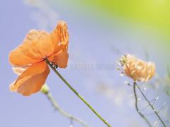 Red Umbrella (roseinthedark) Tags: red sky flower field insect spring warm bokeh olympus poppy m42 ladybird ladybug vintagelens fujinon50mmf14 micro43 racheletotaro omdem10