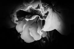 Hacia las sombras (cmarga28) Tags: macro cerca flores sombras belleza formas luz oscuro photography foto planta flower nikon digital d750 raw monochrome