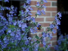 Blue flowers with bee (pilechko) Tags: flowers light color brick wall dr nj bee lambertville