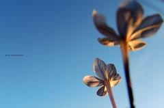Lonely day (LviaVieitoLT) Tags: blue sky blur flower nature azul nikon natureza flor cu negativespace desfocado espaonegativo