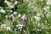Hedgerow medley (ProSession) Tags: macro nature canon cambridgeshire hedgerow shallowdepthoffield cowparsley haddenham mayflowers umbels britishwildflowers maytime commonhogweed englishwildflowers