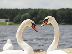 Swans (ugiskalnins) Tags: swans heart panasonic olympus nature birds love portrait summerholidays flickrfriday