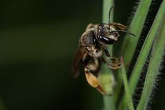 Solitary Bee (Andrena cf. wilkella) (The LakeSide) Tags: macro insect nikon sigma bee solitary cf 105mm andrena r1c1 d7100 wilkella