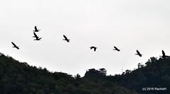 DSC_0028 (rachidH) Tags: nepal lake mountains nature birds pokhara fewa phewa annapurna himalayas oiseaux rachidh