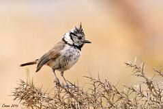 Capellanet de cresta (Cosme Moncho) Tags: bird au ave pardal aitana paridae