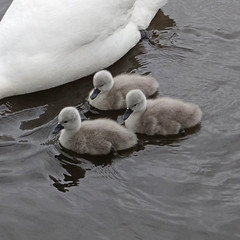 Starboard flank fully protected (Reinardina) Tags: england lake nature water three swan outdoor young cygnet fluffy hampshire lakeside trio cygnets eastleigh lakesidecountrypark