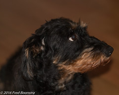 IMG_9223 (arina23111963) Tags: dog dachshund doxie bassotto worshond wirehairdachshund  gravhund wirehaireblackandtandachshund ducje dachshundslove