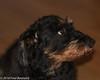 IMG_9223 (arina23111963) Tags: dog dachshund doxie bassotto worshond wirehairdachshund ダックスフント gravhund wirehaireblackandtandachshund ducje dachshundslove