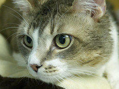 Peter_01 (AbbyB.) Tags: rescue pet cat newjersey feline shelter adopt adoptable shelterpet petphotography easthanovernj mtpleasantanimalshelter
