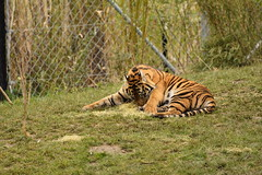 Islands at Chester Zoo (153) (rs1979) Tags: zoo islands tiger chester sumatrantiger chesterzoo