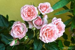 Macizo de rosas (moligardf) Tags: rosas pitimin jardn arriate macizo ramo flor color pastel