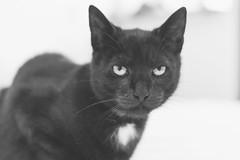 IMG_4067-2 (BalthasarLeopold) Tags: pet cats pets animal animals cat blackcat mammal kitten feline dof kittens felines blackcats indoorcat dephtoffield