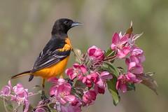 Oriole de Baltimore  Baltimore oriole,  (1) (boisvertvert1) Tags: flower birds fauna fleurs birding qubec extrieur baltimoreoriole faune orioledebaltimore oiseauxduqubec