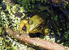 Duckweed Spa - Swim-up Pool Bar (Walkuere123) Tags: summer pond outdoor sommer verano estanque amphibians araceae teich duckweed bullfrog ranatoro ranidae wasserlinsen lentejasdeagua lithobatescatesbeiana nordamerikanischerochsenfrosch nikoncoolpixp900