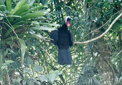 RSS_1205 (RS.Sena) Tags: brazil bird nature forest nikon natureza pssaro atlantic ave birdwatching mata atlntica d7000 sopaulobr