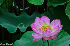 Flowers (leon_roland) Tags: flowers japan garden kyoto lotus kytoshi kytofu oattour