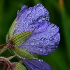 Crystal flower (:Linda:) Tags: germany village thuringia droplet blueflower meadowcranesbill storchschnabel brden