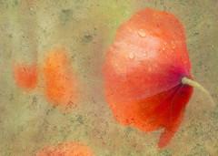 wet poppy on lookout (Hal Halli) Tags: flower love floral flora poppy passion tistheseason artdigital magicunicornverybest netartii