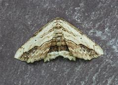 70.257 Waved Umber - Menophra abruptaria (erdragonfly) Tags: 70257 bf1936 menophraabruptaria