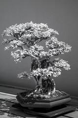 DSC_3871s (An Xiao) Tags: arboretum bonsai penjing