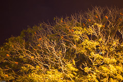 Roosters - Rainbow Lorikeets roosting (adamhanley751) Tags: rainbow australia brisbane queensland lorikeets