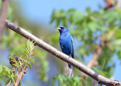 Indigo Bunting (male) (av8s) Tags: nature birds photography newjersey nikon wildlife nj sigma bunting songbirds indigobunting perchingbirds oldmineroad d7100 120400mm