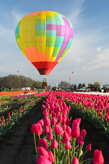 (wenzday01) Tags: travel oregon or willamettevalley woodburn woodenshoe woodenshoetulipfarm tulipfarm tulipfestival tulips flowers nature hotairballoon nikon d7000 nikond7000 sigma 50mmf14exdghsm