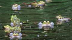Blowing bubbles (Elisa1880) Tags: netherlands utrecht nederland amphibian bubbles blow frog rhenen kikker bellen blazen amfibie croack kwaken leemkuil