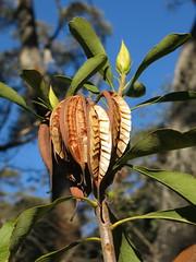 Telopea speciosissima - Waratah (stitchingbushwalker) Tags: dufaursrocks telopeaspeciosissima waratah