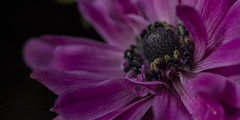 Anemone Flower - May 2016 (GOR44Photographic@Gmail.com) Tags: pink black flower macro canon petals anemone stamen 100mmf28 canon100mm 60d gor44