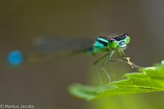 Portrait einer blauen Libelle (Gr. Pechlibelle?) (markus.jacobs1899) Tags: macro nature animal closeup tiere nikon natur makro libelle insekt damselfly insekten   wildtiere  nikkormicro105mm d700